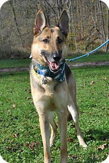 German Shepherd Dog Dog for adoption in Mt. Airy, Maryland - Gunnar