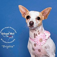 Chihuahua Dog for adoption in Houston, Texas - Briggitta
