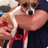 Adopt A Pet :: Penelope - Garland, TX