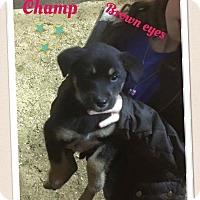 Adopt A Pet :: Champ - Brunswick, ME