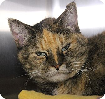 Domestic Shorthair Cat for adoption in Middletown, Connecticut - Mizzy