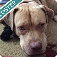 Adopt A Pet :: KING - Brooklyn, NY