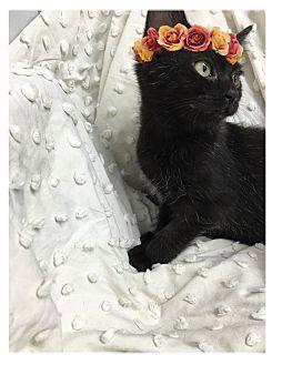 Domestic Shorthair Kitten for adoption in Paducah, Kentucky - India