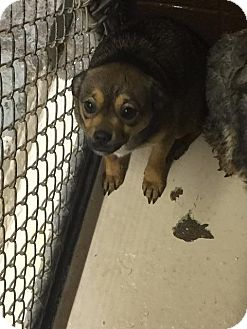 Chihuahua Mix Dog for adoption in Maysville, Kentucky - Roxy