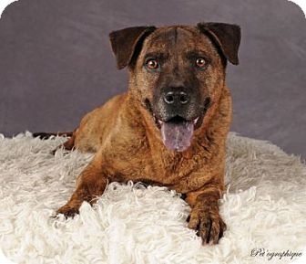 Dutch Shepherd Mix Dog for adoption in Las Vegas, Nevada - Navajo