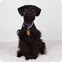 Adopt A Pet :: Baca - Colorado Springs, CO