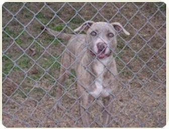 Weimaraner Pit Bull Terrier Mix Dog For Sale Haughton Louisiana