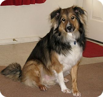 Sheltie, Shetland Sheepdog/Australian Shepherd Mix Dog for adoption in apache junction, Arizona - Nicco