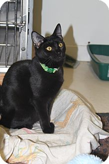 Domestic Shorthair Cat for adoption in North Branford, Connecticut - Pearl