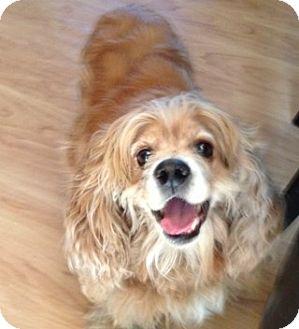 Cocker Spaniel Dog for adoption in Sacramento, California - Ernie