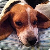 Adopt A Pet :: Sheldon Pitt - Waldorf, MD