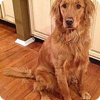 Adopt A Pet :: Maya - Cheshire, CT