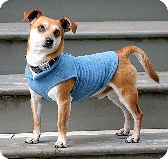 Salem Or Shiba Inu Dachshund Mix Meet Oliver A Dog For Adoption