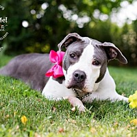 American Pit Bull Terrier Mix Dog for adoption in New Canaan, Connecticut - Diamond