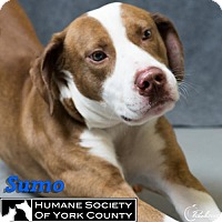 Adopt A Pet :: Sumo - Fort Mill, SC