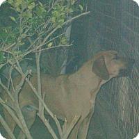 Redbone Coonhound/Rhodesian Ridgeback Mix Dog for adoption in Mexia, Texas - Big Red