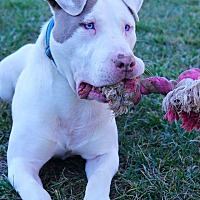 Pit Bull Terrier Mix Puppy for adoption in Durham, North Carolina - Zeppelin