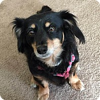 Spaniel (Unknown Type)/Dachshund Mix Dog for adoption in Columbia, Tennessee - Riley MH