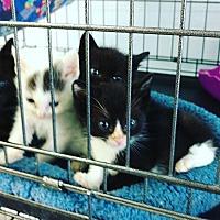 Domestic Shorthair Kitten for adoption in Monrovia, California - Roni's Kittens