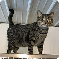 Domestic Shorthair Cat for adoption in Geneseo, Illinois - Rowdy2