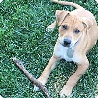 Adopt A Pet :: Armani - Dayton, OH