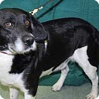Beagle/Border Collie Mix Dog for adoption in Mt. Prospect, Illinois - Norman