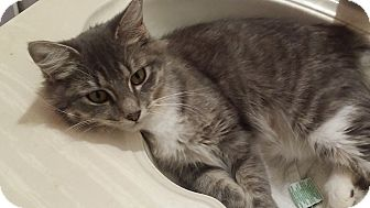 Domestic Longhair Cat for adoption in Levelland, Texas - Mary Poppins