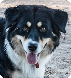 Australian Shepherd Mix Dog for adoption in Corrales, New Mexico - Lady