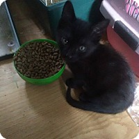 Domestic Mediumhair Kitten for adoption in Caro, Michigan - Poe