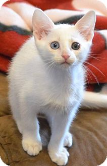 Domestic Shorthair Kitten for adoption in Mobile, Alabama - Chang