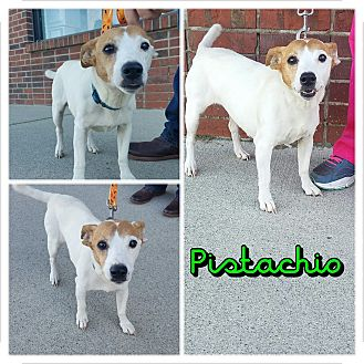 Jack Russell Terrier Mix Dog for adoption in Garden City, Michigan - Pistchio