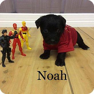 Lhasa Apso/Terrier (Unknown Type, Medium) Mix Puppy for adoption in Shreveport, Louisiana - Noah 2