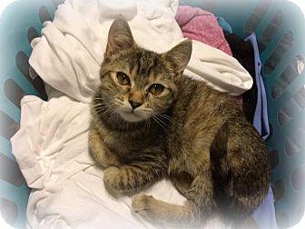 American Shorthair Kitten for adoption in Millersville, Maryland - Sophia