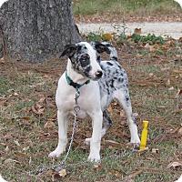 Adopt A Pet :: NICKLE - Hartford, CT