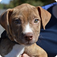 Adopt A Pet :: Chloe-ADOPTED - Allen town, PA