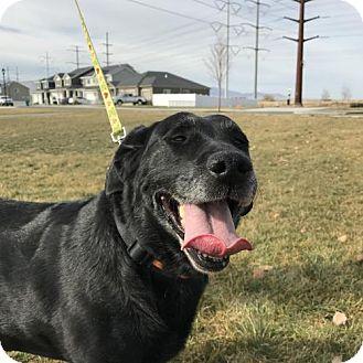 Labrador Retriever Dog for adoption in Salt Lake City, Utah - Shadie