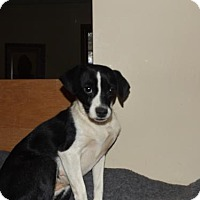 Rat Terrier/Jack Russell Terrier Mix Dog for adoption in Zaleski, Ohio - Luna