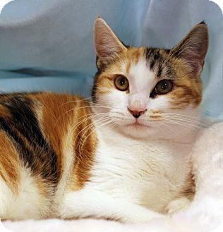 Calico Cat for adoption in San Jose, California - Pumpkin