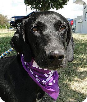 Labrador Retriever/Hound (Unknown Type) Mix Dog for adoption in Brattleboro, Vermont - Laney