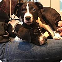 Adopt A Pet :: Ava & Ella - Jackson, NJ