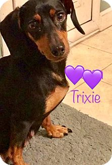 Dachshund/Hound (Unknown Type) Mix Dog for adoption in Los Angeles, California - Trixie