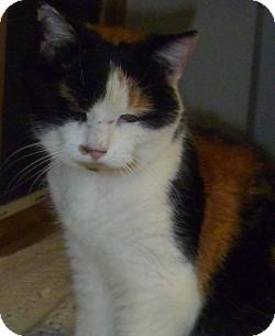 Domestic Shorthair Cat for adoption in Hamburg, New York - Kris