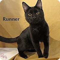 Domestic Shorthair Cat for adoption in St Louis, Missouri - Runner