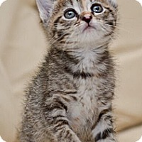 Adopt A Pet :: Sweet Pea - Reston, VA