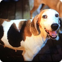 Hound (Unknown Type)/Treeing Walker Coonhound Mix Dog for adoption in Orange Lake, Florida - Jackie