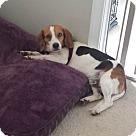 Adopt A Pet :: Beagley
