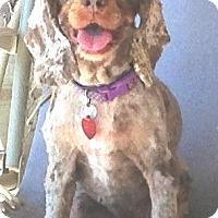 Adopt A Pet :: Daisy May - Santa Barbara, CA