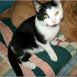 Photo 2 - Domestic Shorthair Cat for adoption in Metamora, Indiana - Dancer