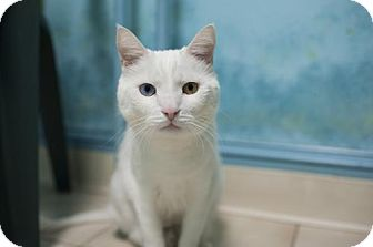 Domestic Shorthair Cat for adoption in East Norriton, Pennsylvania - Static