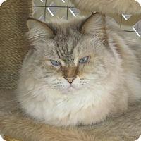 Ragdoll Cat for adoption in Gilbert, Arizona - Lilian